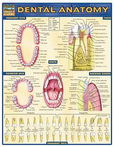 Dental Anatomy Reference Guide