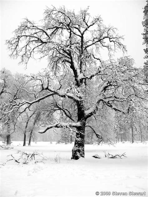 snow  tree branches  steven stewart black white