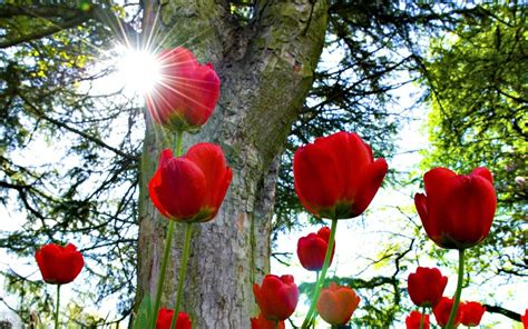 red tulips   sun wallpaper allwallpaperin