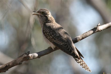 pallid cuckoo birds  backyards