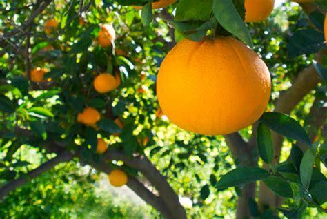 Israel Tangerinen Bringen Orangen Unter Druck ‹ Fruchtportal
