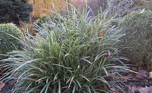 Immergrüne Pflanzen Winterhart Kübel : immergr ne ziergr ser blattschmuck f r den winter ~ Lizthompson.info Haus und Dekorationen