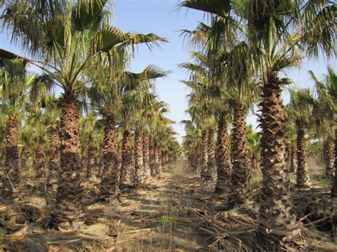 mediterrane bäume winterhart winterharte mediterrane pflanzen winterharte palmenarten winterharte palmen mediterrane