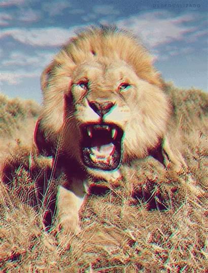 Lion Lions Animals Roar Roaring Animated Gifs