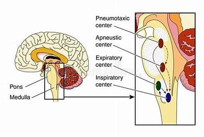 Respiratory Control Centers Brain Respiratorio Centri Centres