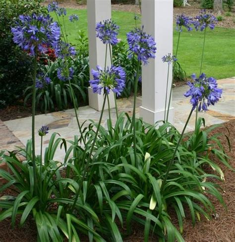 landscaping with agapanthus newsletter cool plant
