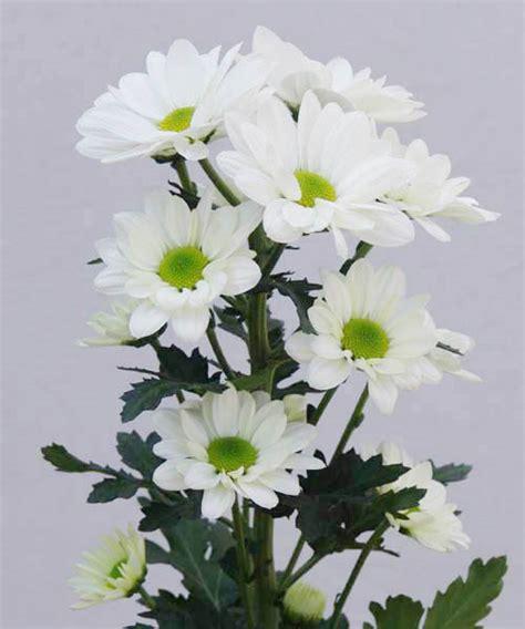 wholesale spray chrysanthemum floraco