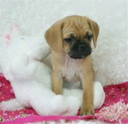 pocket puggles dog breeds picture