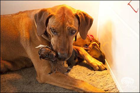 rhodesian ridgeback puppies rhodesian ridgeback breeder