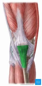 Patellar Tendon  Anatomy  Origin  Insertion  Function