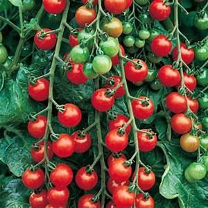 Plant Tomate Cerise : tomate cerise ~ Melissatoandfro.com Idées de Décoration
