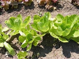 PlantFiles Pictures: Lettuce, Romaine Lettuce 'Jericho ...