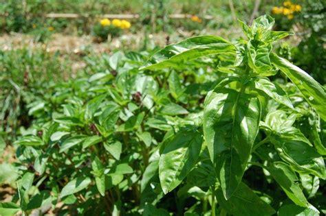 basilic semis culture et r 233 colte au potager