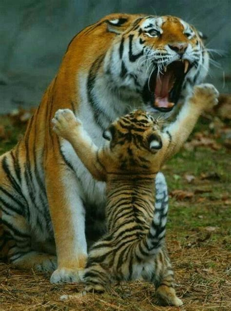 Best The Tiger Board Images Pinterest Big Cats