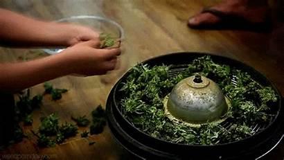 Cannabis Kid Weed Cbd Oil Capsules Wife