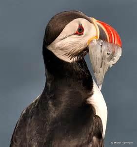 Puffin Bird Iceland