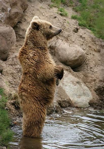 Bear Brown Standing Ursus Arctos Marsican Grizzly