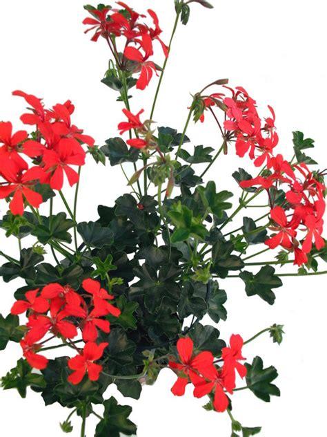 h 228 nge geranie orange rot pflanzenklick