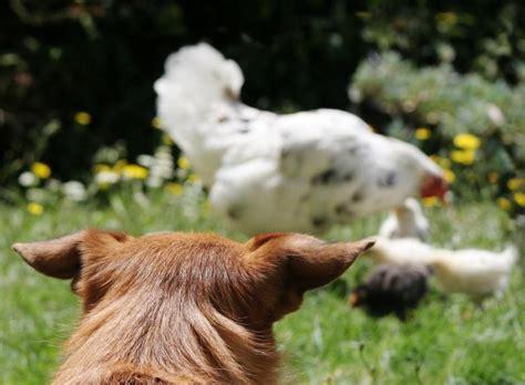 comment emp 234 cher un chien d attaquer les poules