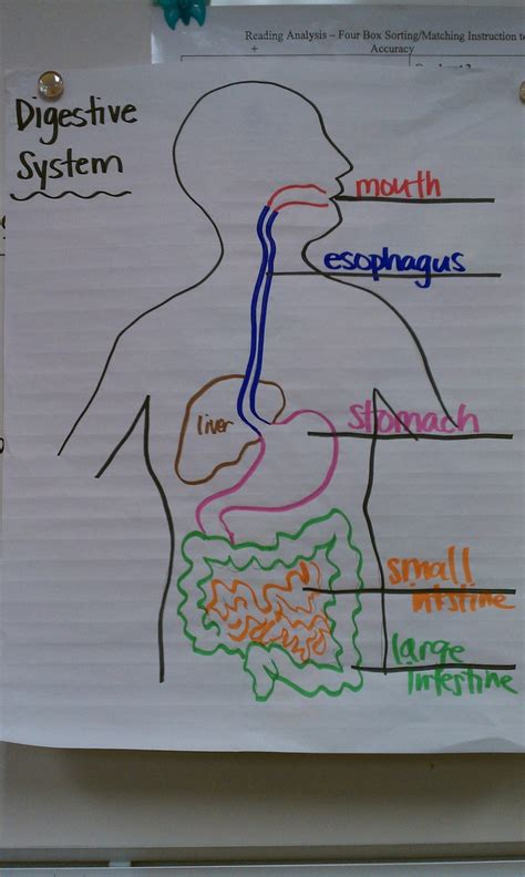digestive system drawing color coding  grade