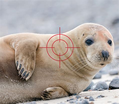 The Gray Seal Population Problem In Cape Cod Time To Cull