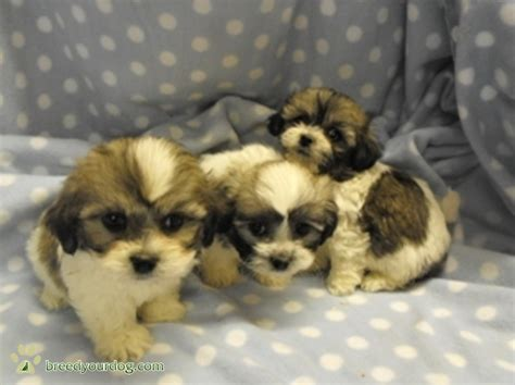 Small Non Shedding Dogs For Families by Non Shedding Family Breeds Breeds Picture