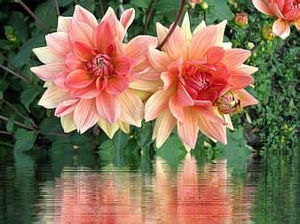 dālija, zieds, zied, dālijas dārzs, rozā, vasaras beigās ...