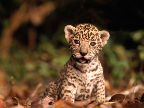dangerous  wild animals jaguar