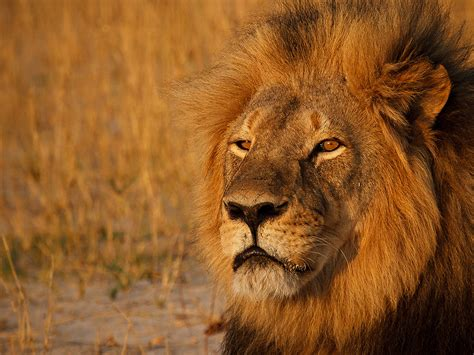 Remembering Cecil The Lion, One Year Later