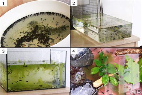 elevage de grenouille en aquarium intra science t 233 moignage 233 levage du t 234 tard 224 la grenouille compte rendu