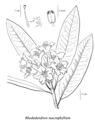 how to draw a rhododendron e flora bc electronic atlas of the flora of bc