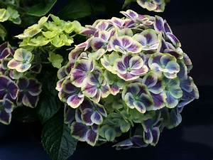 Hydrangea Macrophylla Winterhart : ballhortensie 39 bavaria 39 hydrangea macrophylla 39 bavaria ~ Michelbontemps.com Haus und Dekorationen