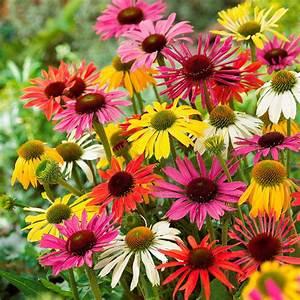 Blumen Winterhart Mehrjährig : butterfly sonnenh te von g rtner p tschke ~ Whattoseeinmadrid.com Haus und Dekorationen