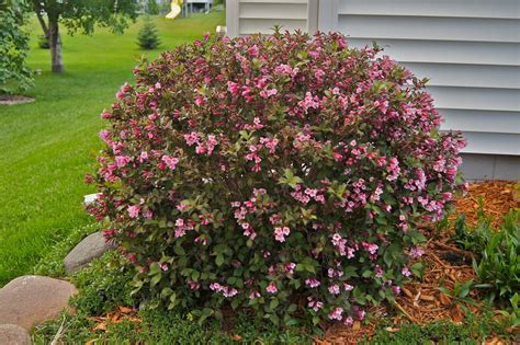 weigela bush who will make me laugh loaded with blossoms