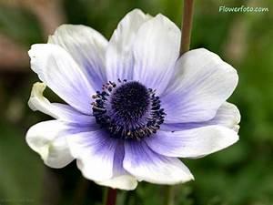 Beautiful, Anemone, Flower