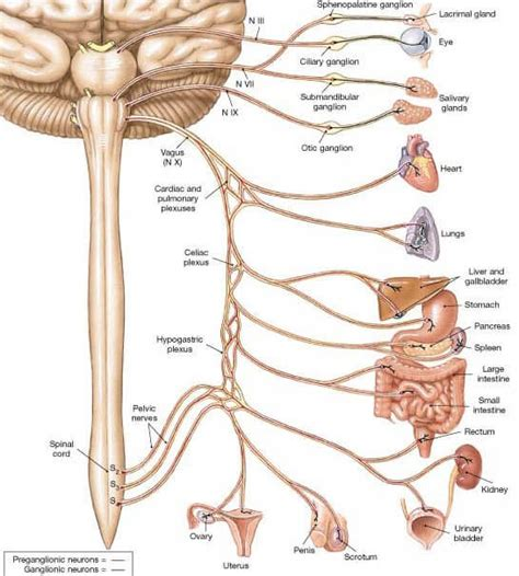 Vagus Nerve - Location, Stimulation, Disorders and Test
