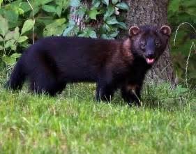 fisher cat images fisher cat by dpchallenge