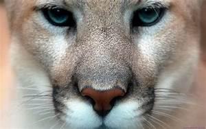 Mountain Lion Desktop Wallpaper - WallpaperSafari