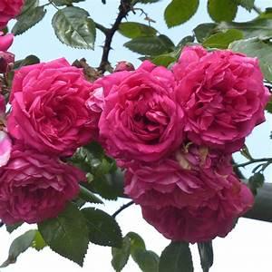 Rosier Grimpant Remontant : rosier laguna koradigel grimpant remontant fleurs ~ Melissatoandfro.com Idées de Décoration