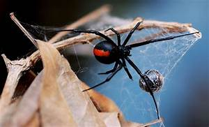 Australian Man Dies After Redback Spider Bite in New South ...