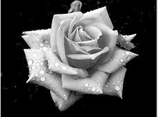 white, rose, flower, drops, dew