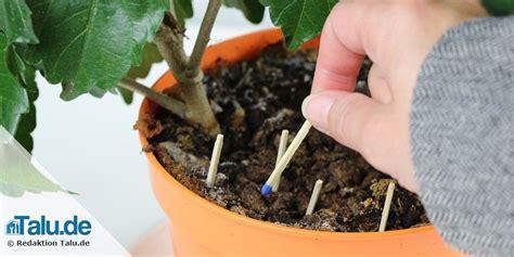 kleine fliegen in der blumenerde schnell loswerden pflanze fliegen und pflanzen
