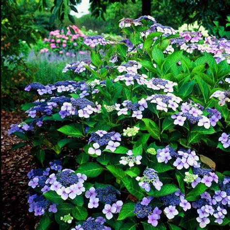 hydrangea serrata blue bird deciduous shrub hardy