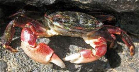 crabs  san francisco bay area sfbaywildlifeinfo