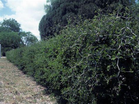 Ebenopsis Ebano Texas Ebony Evergreen Hedge Spiny