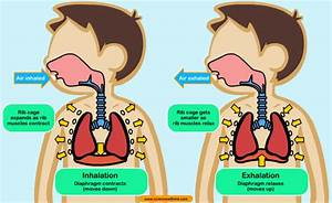 Ana U00b4s English Classes  Science  Unit 2  Human Respiration
