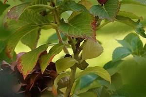 Hortensien Blätter Werden Braun Frost : hortensie bekommt braune bl tter welke blattspitzen was tun ~ Lizthompson.info Haus und Dekorationen