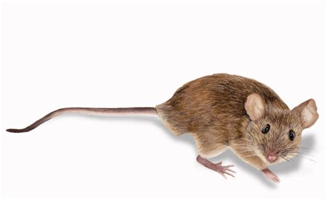 mice rodent control in minneapolis rainbow pest experts