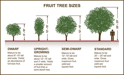 tips  selecting fruit nut trees planting care tomorrows harvest  burchell nursery