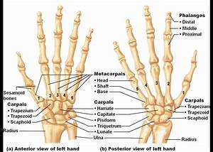 Hand Bone Photos Human Right Hand Wrist Bone Structure